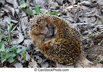 The hedgehog curled up on fallen leaves