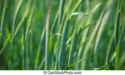 Green Grass, moving from the wind. Blurred Background