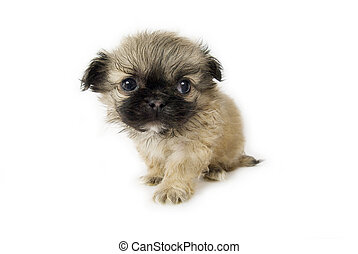 Cute little pekingese puppy on white background