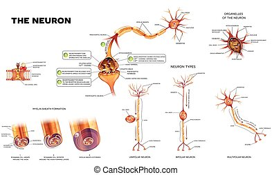 The neuron anatomy poster - Neuron detailed anatomy...