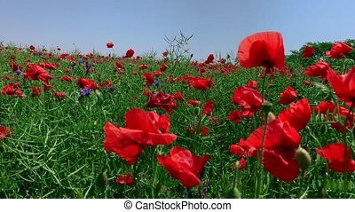Field with red poppies against the blue sky