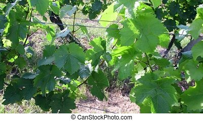 Bush vine with young grape wines