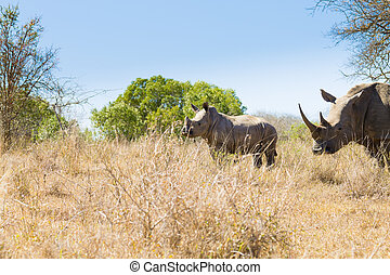 Isolated puppy rhinoceros, South Africa - Isolated puppy...