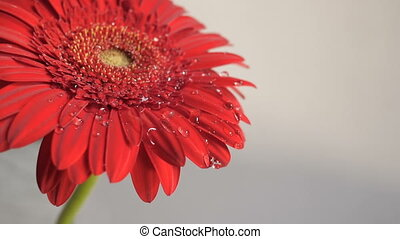 Drops falling on a flower - Water drops falling on a red...