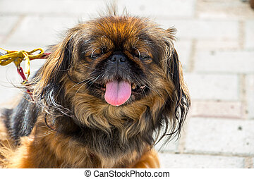 Portrait dog Pekingese