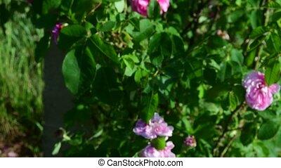 Rose bush and bush vines. Closeup. Low DOF. - Rose bush and...