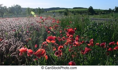 Panoramic view on country landscape. Corn poppy, field...