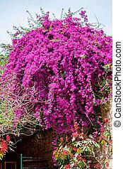 hermoso, púrpura, árbol, verde,  jacaranda, flores
