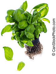 Fresh green basil with roots, grown in black plastic pot