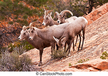 Heard Of Desert Big Horn Sheep in Utah's Zion National Park