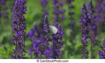 Butterfly on sage flowers - Butterfly collecting nectar on...