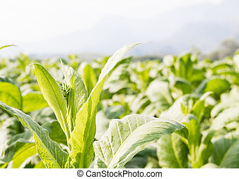 Nicotiana tabacum herbaceous plant - Close up Common...
