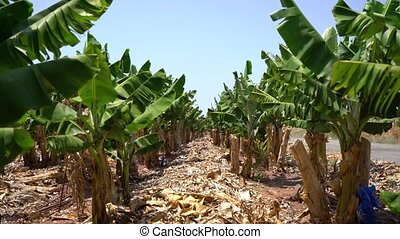 Banana tree grove on Cyprus island video on a sunny hot day