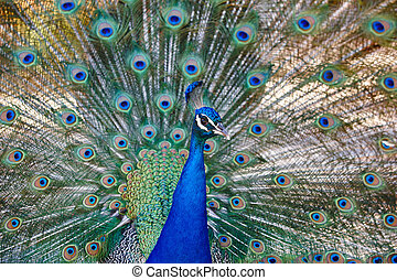 孔雀\, カラフルである, 羽, 背景, 広がり, 動物