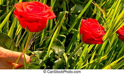 Closeup Red Roses Sway in Green Rice Field - closeup...