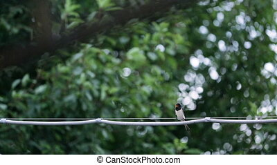 One swallow sitting on wire in summer, close-up - One...