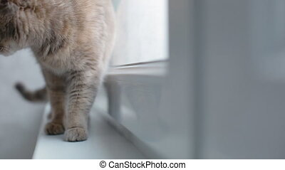 Grey cat sitting on the window sill - Grey cat walking on...