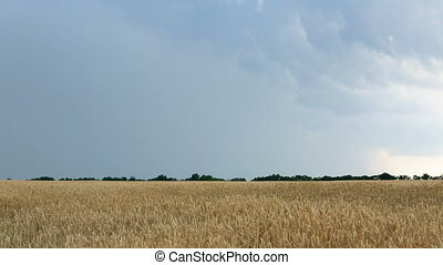 Wheat field before thunder and rain. Lightning in sky -...