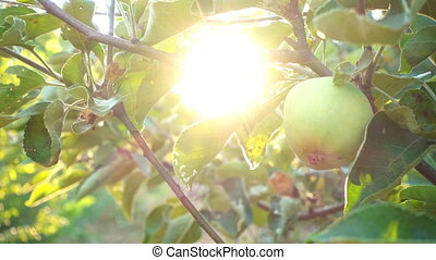 apple garden at the light of setting sun