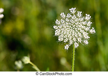 Open Daucus Carota Flower - Macro of an open wild carrot...