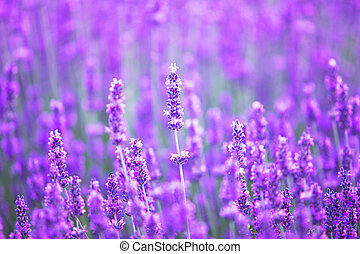 Sunset over a violet lavender field. - Sunset over a violet...