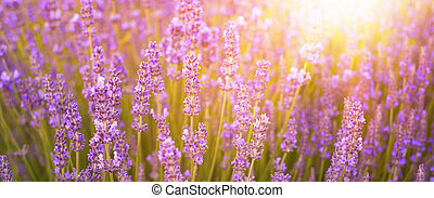 Beautiful image of lavender. - Beautiful image of lavender...