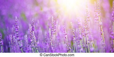 Beautiful image of lavender field. - Beautiful image of...