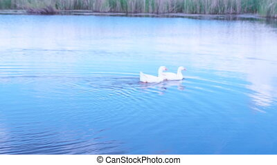 geese and swans swimming on the lake - white geese and swans...