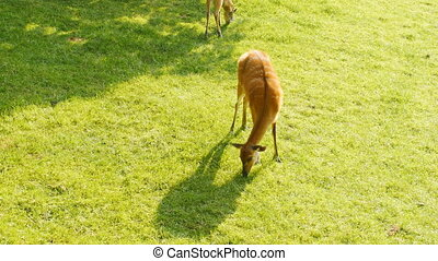 A young deer grazes on grass in park