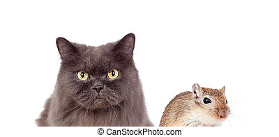 Grey cat and brown mouse. Dangerous friendship - Grey cat...