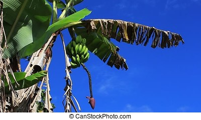 banana plant with green banana cluster against blue sky