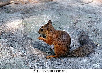 吃, 松鼠