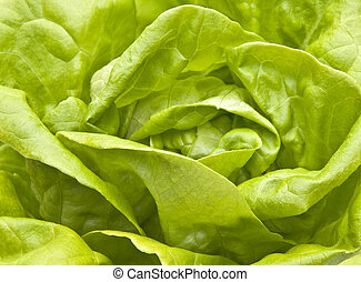 Hydroponic Bibb Lettuce Close up.