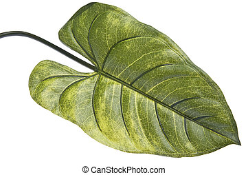 Vibrant Green Tropical Leaf Isolated on White with a...