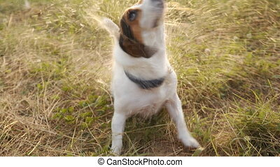 Wet Dog shakes off drops of water. Funny jack russell terier...