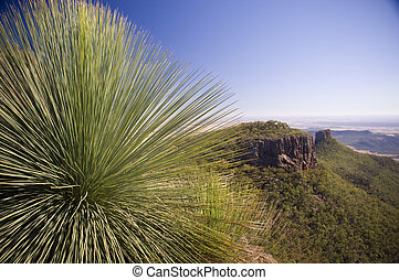 Grass Tree xanthorrhoea or black boy shows its sharp, pointy...