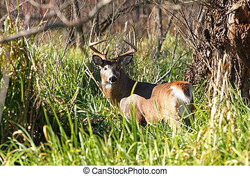 White-tailed Deer Buck standing in marsh grasss in sun