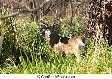White-tailed Deer Buck standing in marsh grasss in sun