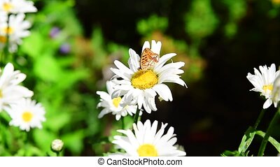 Butterfly on white camomile - Butterfly hives sitting on...