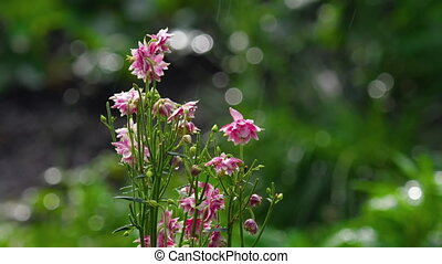 Pink decorative aquilegia flowers on a sunny morning