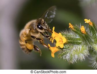 Arizona Honeybee Hoverying near wildflower - An Arizona...