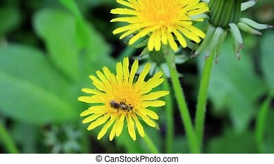 Bee in yellow pollen - The bee collects the nectar from the...
