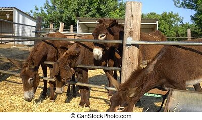Cute donkeys eating hay on a farm on Cyprus island - Some...