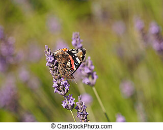 Red admiral (Vanessa atalanta) - Butterfly red admiral...
