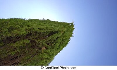 Cypress tree and blue sky video on Cyprus - Cypress tree...