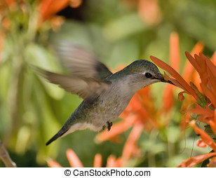 Arizona Humming Bird Feeding - An Arizona Humming Bird...