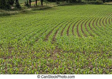 Rows of corn seedlings on a field.