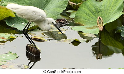 White Egret hunting in lotus pond. Full HD 1080p video.