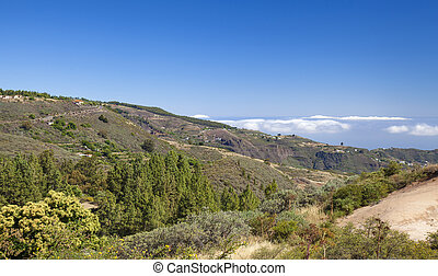 Gran Canaria, June, flowering sweet chestnuts and pine trees...