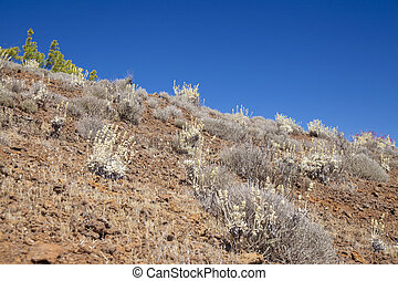 Gran Canaria, June, aromatic herbs, Sideritis and...